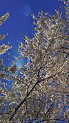 Sakura20120501_2