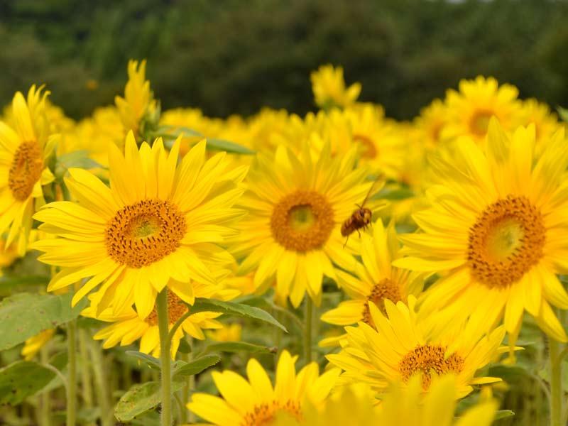 Sunflower_bee